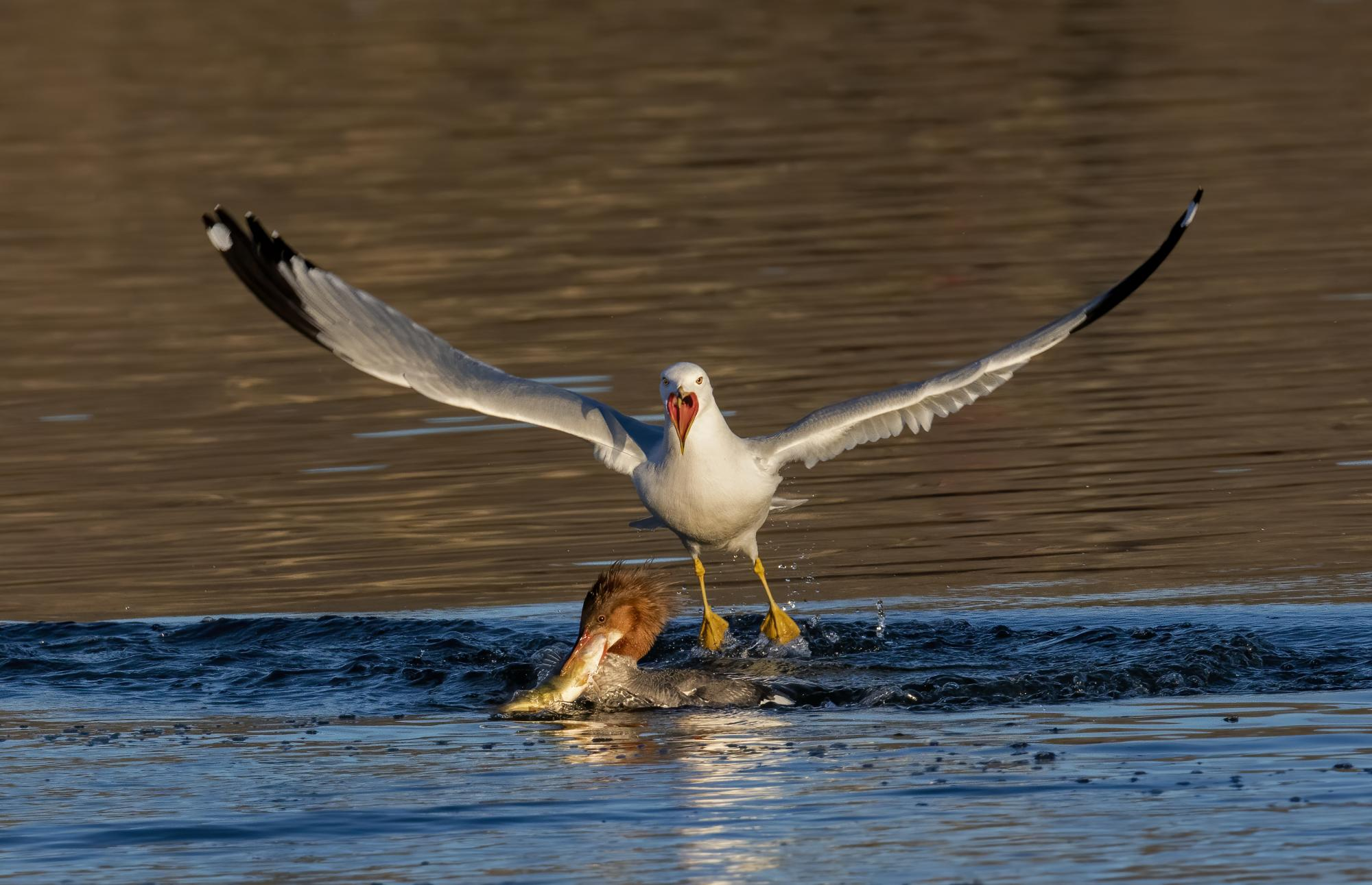 Photo of a gull attempting to steal another bird's fish