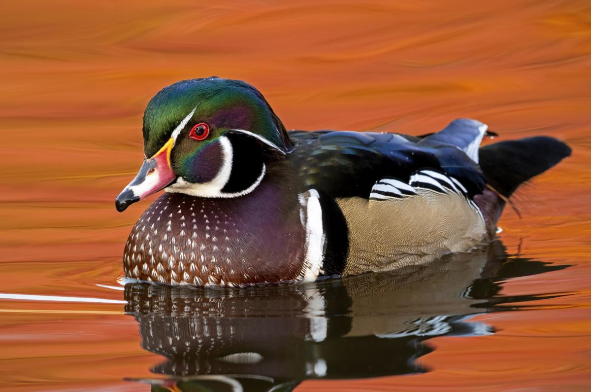Photo of a colorful duck or mallard floating on the water